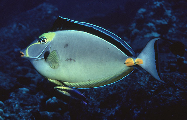 Orangespine unicornfish naso lituratus species profile for Fish species hawaii