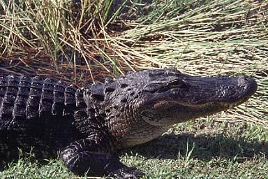 American Alligator Alligator Mississippiensis Species Profile