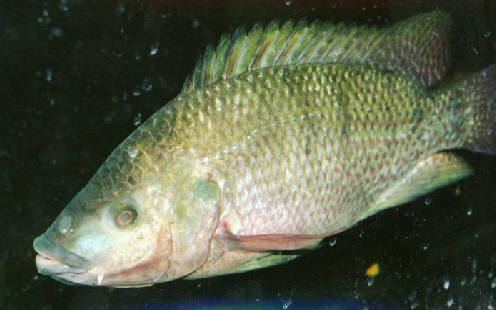 Mozambique tilapia oreochromis mossambicus species profile for What type of fish is tilapia