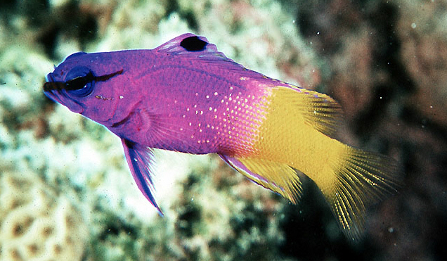 fairy basslet gramma loreto species profile