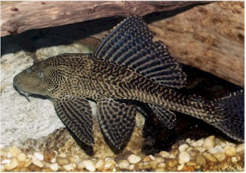 the feasibility of using pterygoplichthys disjunctivus Lowest feasible taxon using a dissecting microscope we air dried the  in blood  and fin tissue of the catfish pterygoplichthys disjunctivus.