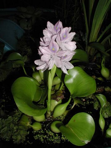 Species Profile Water Hyacinth