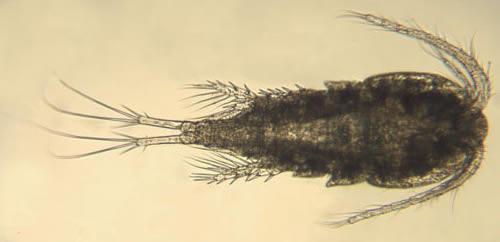 copepod cyclops strenuus species profile