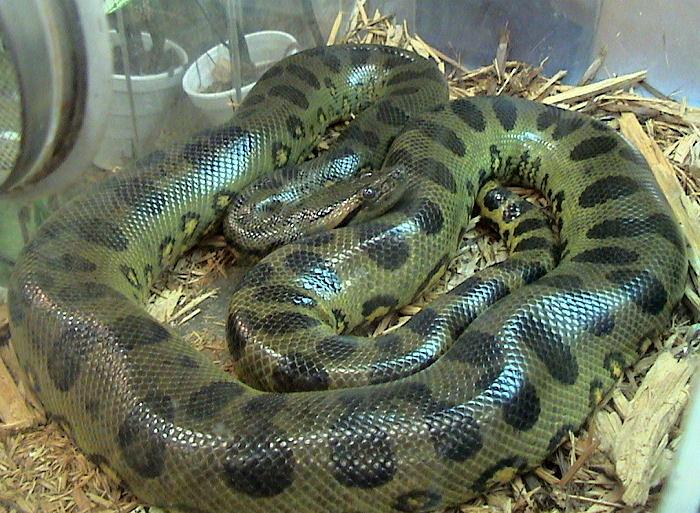 Green Anaconda Eunectes Murinus Species Profile
