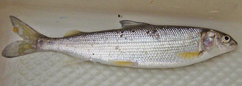 Mountain whitefish prosopium williamsoni species profile for White mountain fishing report