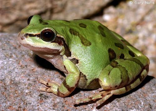 Free photo: Hyla Meridionalis, The Frog - Free Image on Pixabay ...