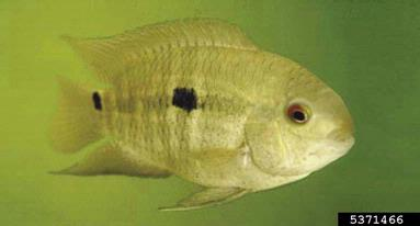 Black Acara (Cichlasoma bimaculatum) - Species Profile