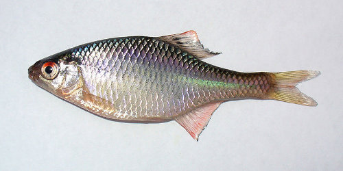 Bitterling rhodeus sericeus species profile for Bitterlinge fische
