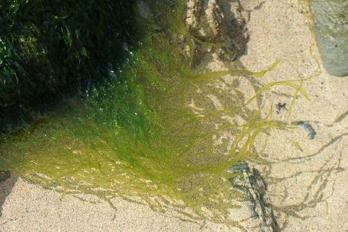 alga ulva intestinalis
