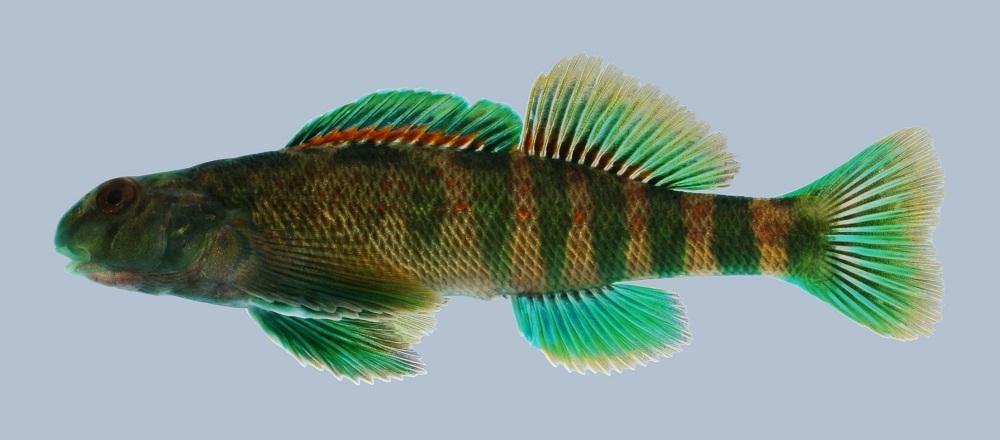 Jonah's Aquarium... Etheostoma rufilineatum 04, Redline Darter ...