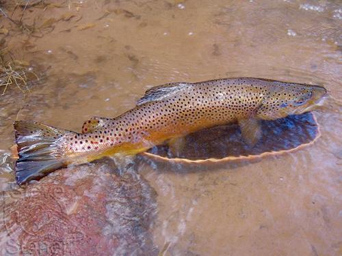 Brown Trout (Salmo trutta) - Species Profile