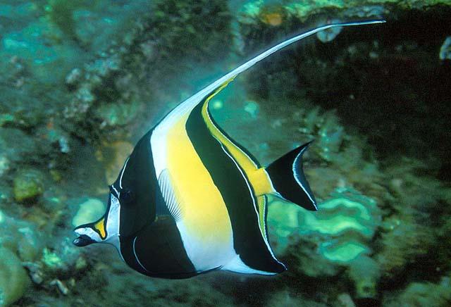 Moorish idol zanclus cornutus species profile for Moorish idol fish