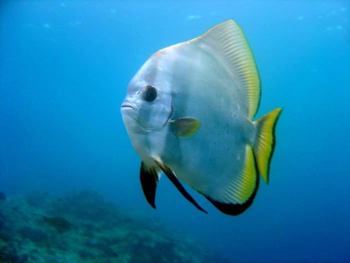 orbiculate batfish (Platax orbicularis) - FactSheet