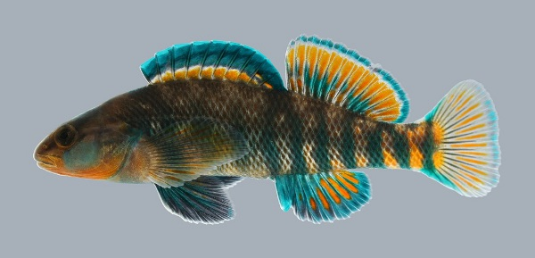 Rainbow Darter (Etheostoma caeruleum) - Species Profile