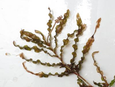 Image result for curly leaf pondweed