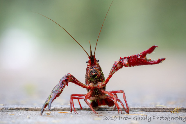Red Swamp Crayfish (Procambarus clarkii) - Species Profile