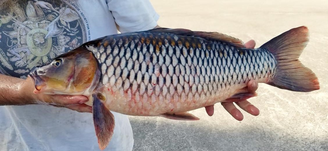 Common Carp (Cyprinus carpio) - Species Profile