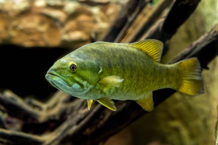 Species Profile - Micropterus dolomieu
