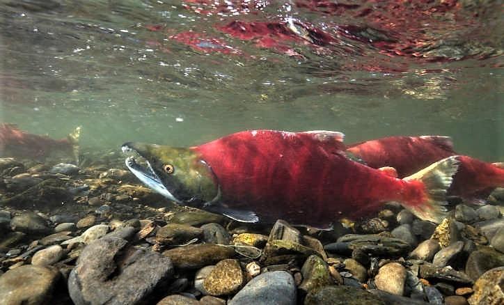 Sockeye Salmon (Oncorhynchus nerka) - Species Profile