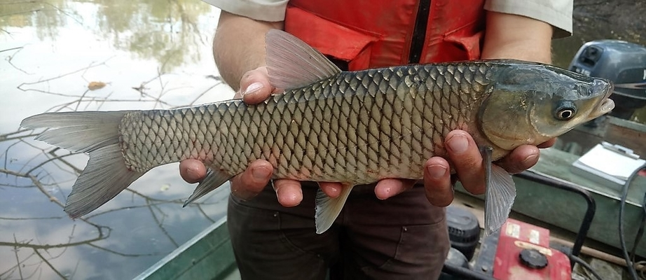 Grass Carp (Ctenopharyngodon idella) - Species Profile
