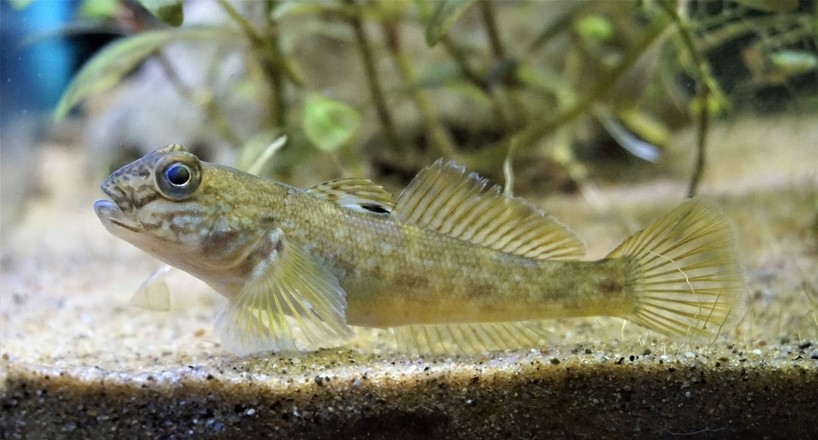 Species Profile - Neogobius melanostomus