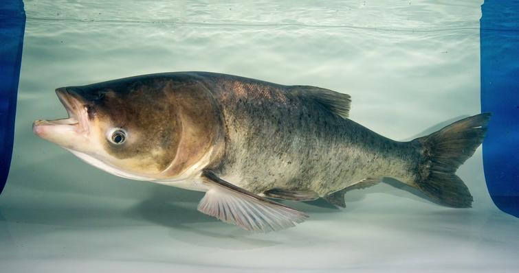 ohio fresh water fish diet levels