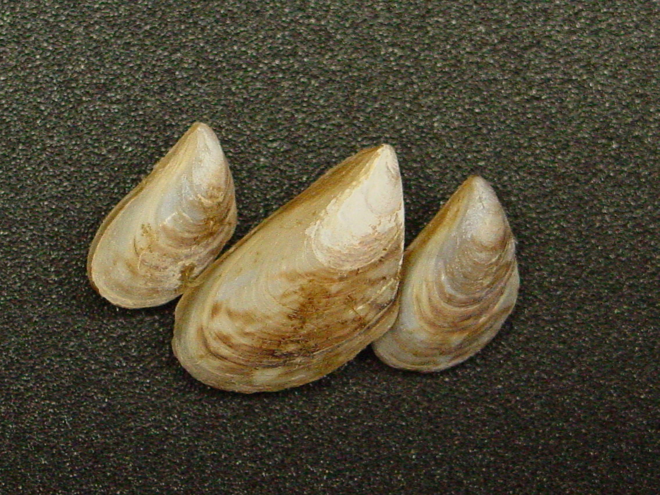 Zebra Mussel vs. Quagga Mussel Images