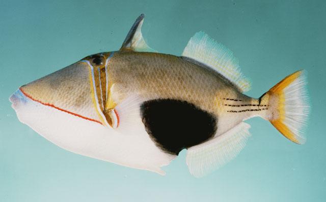 Rhinecanthus verrucosus