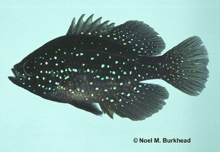Bluespotted Sunfish (Enneacanthus gloriosus) - FactSheet