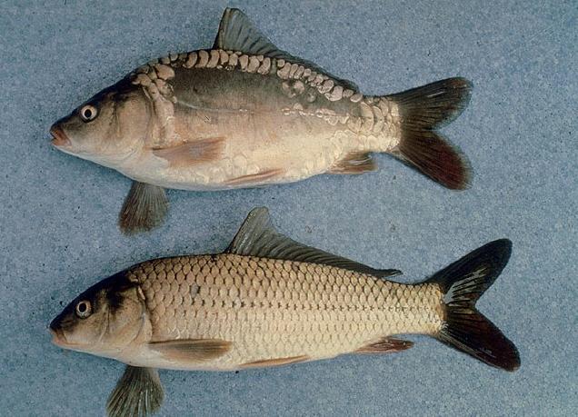 common carp. common carp (Cyprinus carpio)