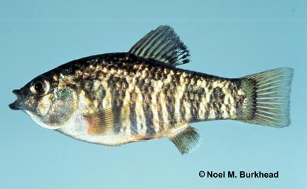 Fishes  Cyprinodontida...