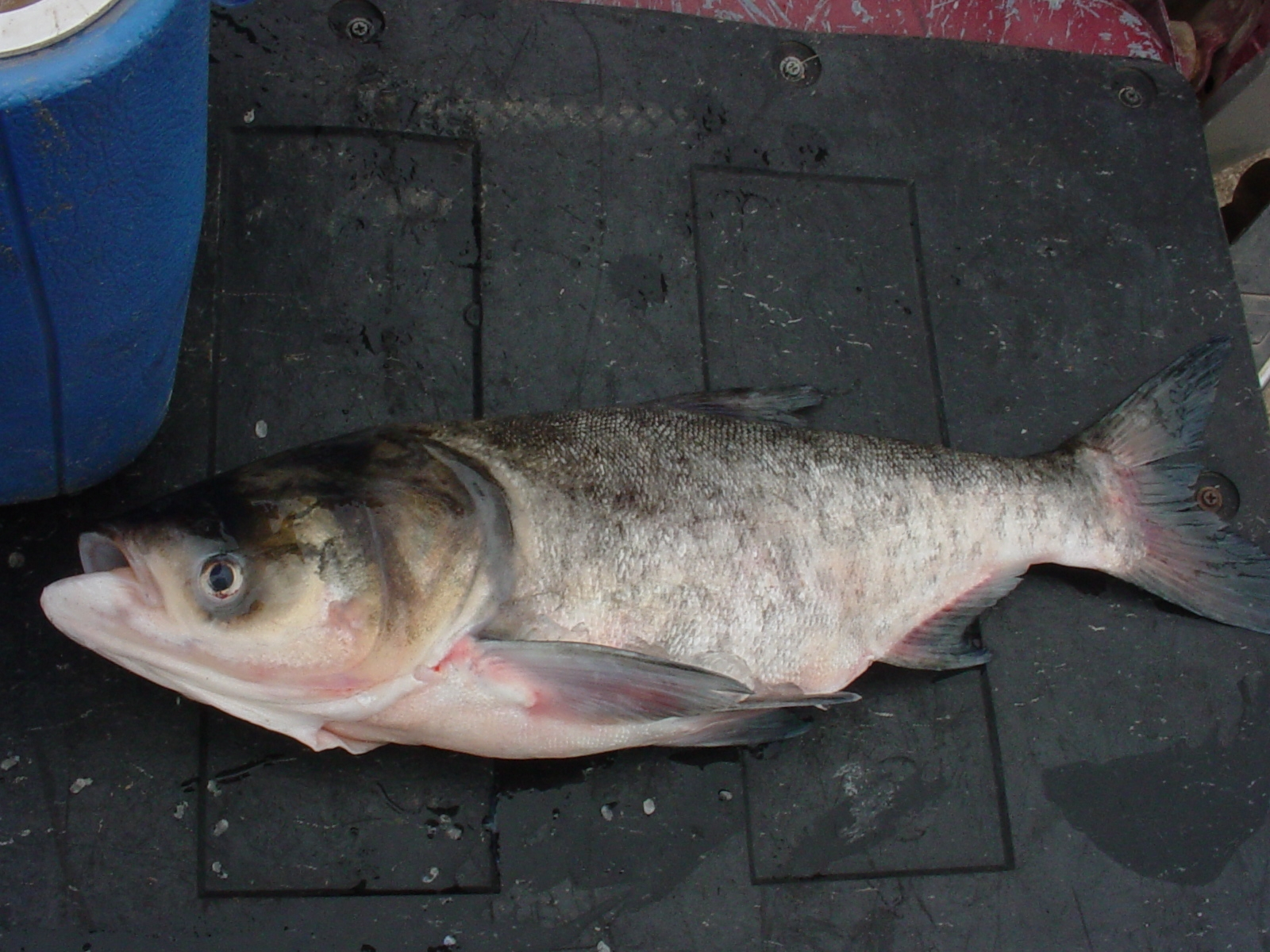 Bighead Carp (Hypophthalmichthys nobilis) - Collection record