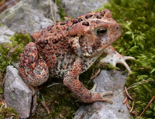 american toad range map with Factsheet on File gray tree frog besides Saltwater crocodile also 678217 Wild Boars furthermore Weird Creatures additionally Anaxyrus americanus.