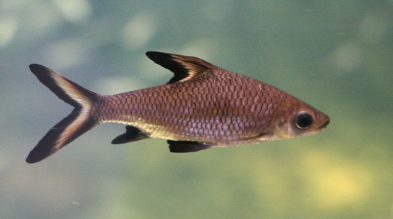 Рыбки любят жить в стае, неагрессивны, подвижны.  Домашние животные.