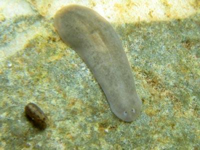 Planaria (Dugesia sp.) Picture
