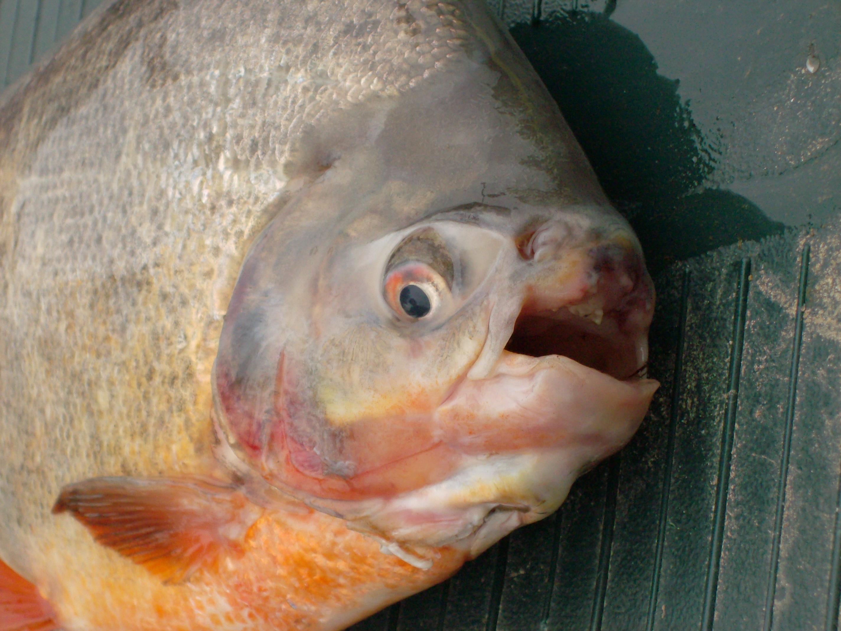 pirapatinga, red-bellied pacu (Piaractus brachypomus) - Collection ...