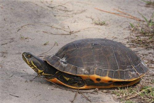 Reptiles-Turtles Emydidae Deirochelys reticularia var. chrysea