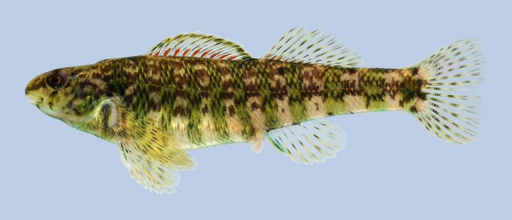 Banded Darter banded darter (etheostoma zonale) - factsheet