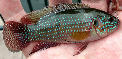 African jewelfish hemichromis letourneuxi collection for Invasive fish in florida
