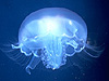 coelenterate picture - click to go to the Coelenterate page