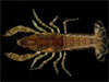 crustacean picture - click to go to the Crustacean page