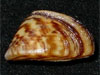 mollusk picture - click to go to the Mollusk page